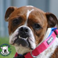 Bulldogs Available for Adoption